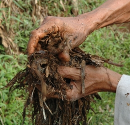 jerami dari sisa panen padi