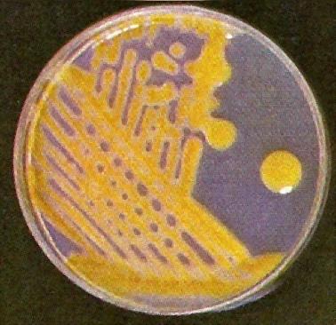 Penambahan mikroba biofertilizer di dalam pupuk organik granul (pog