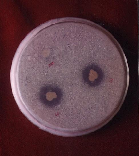 bakteri pelarutfosfat