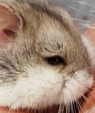 Hamster Mini yang Lucu