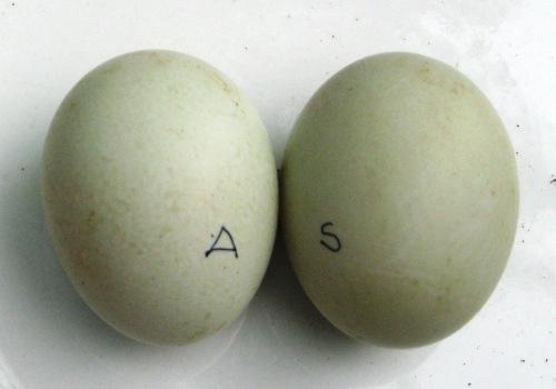 Telur Bebek Spesial