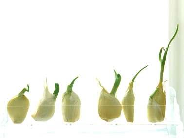 2-garlic
