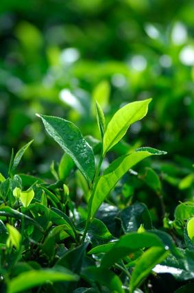 pucuk daun teh