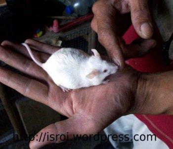 Mus musculus tikus putih