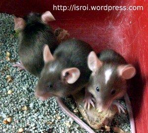 tikus coklat jidat putih