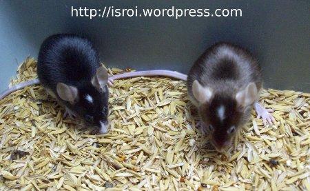 tikus jidat putih sedang makan biji-bijian