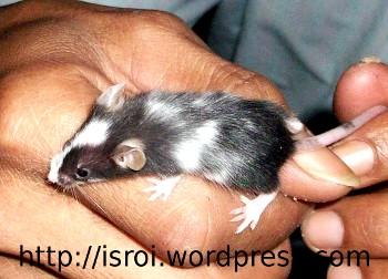 Tikus Hias Jepang belang lucu