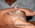 tikus/mencit coklat
