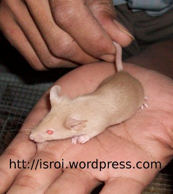 tikus emas, mencit, mus musculus, tikus putih