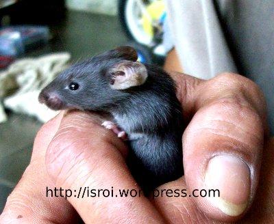 tikus hitam