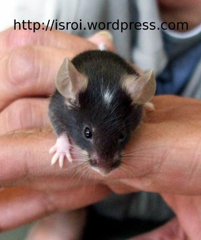tikuskepalaputih01