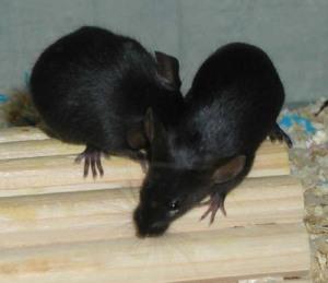 Tikus Cemani