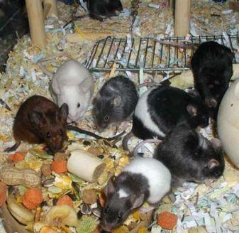 anak tikus hias