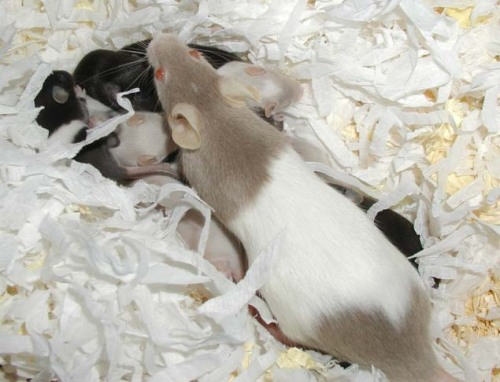 tikus belang coklat putih