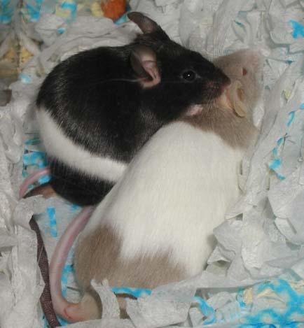Sepasang tikus belang