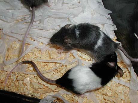 Tikus Hias Jepang belang muda