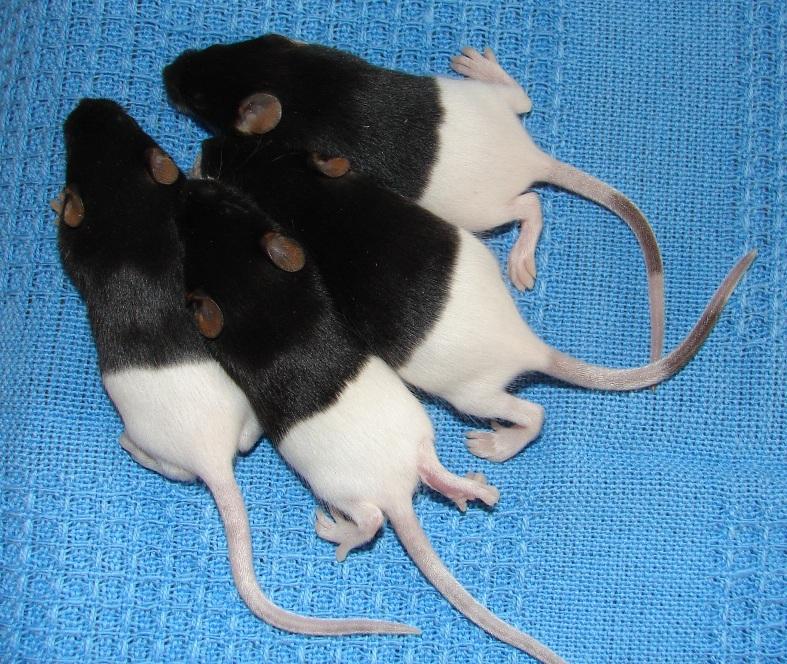 Tikus Hias Jepang belang hitam putih