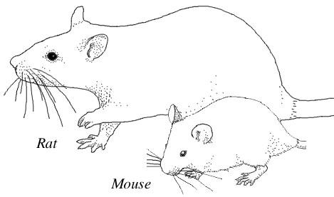 Perbedaan ukuran tubuh tikus dan mencit