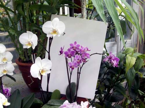 Meletakkan latar belakang putih di belakang bunga yang akan difoto.