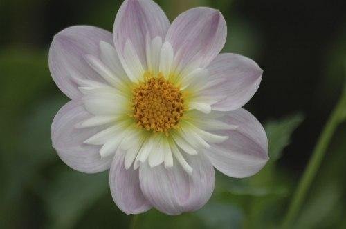 Foto asli bunga dahlia sebelum diolah