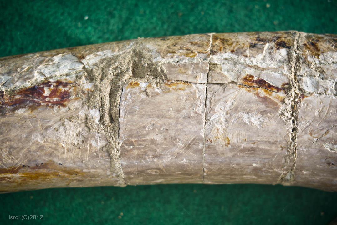 fosil gading gajah purba