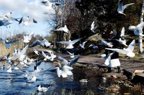 Memberi makan burung di tepian danau Svartemosse. Pagi hari sebelum masuk kamar bersalin.