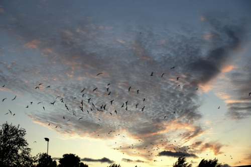 Burung Kaja berbondong-bondong pulang ke sarangnya ketika senja tiba.