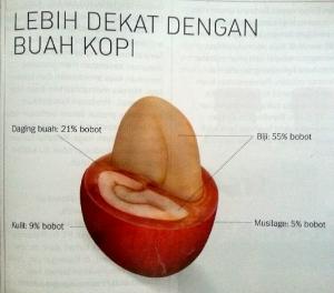 Morfologi buah kopi
