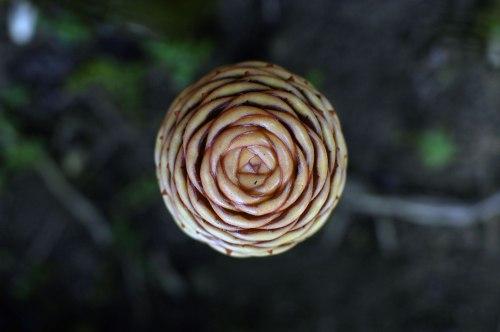 Zingiber spectabile beehive ginger