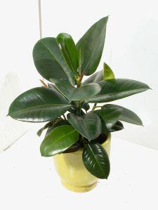 Ficus elastika