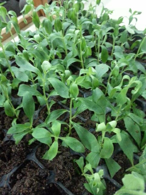 Sejarah Masuknya Stevia ke Indonesia