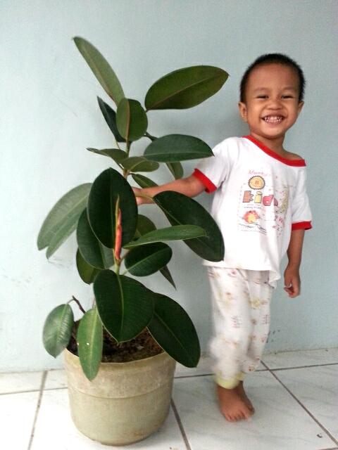 yusuf dan tanaman beringin karet