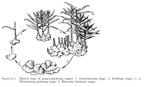 fase pertumbuhan jahe