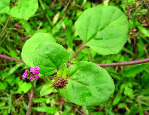 Tanaman boerhavia diffusa yang bisa dimanfaatkan untuk mengatasi serangan penyakit busuk rimpang jahe.