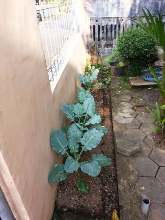 menanam brokoli di teras rumah