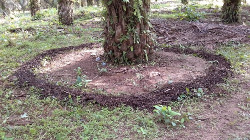 Aplikasi kompos pelepah sawit di piringan sawit.