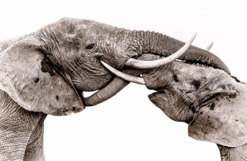 Susan Portnoy-Elephants