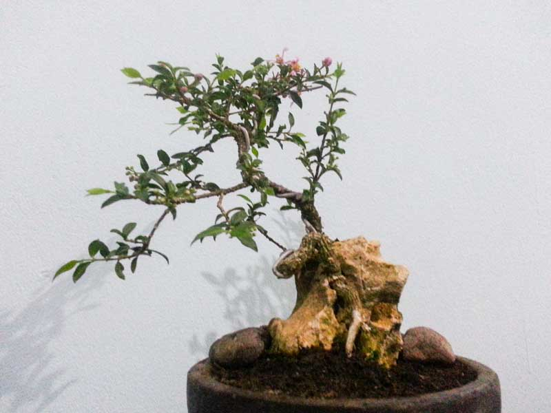 Bonsai Mini Unik