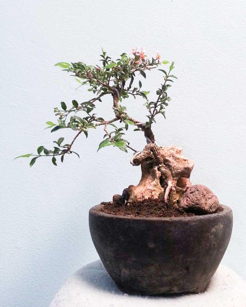 bonsai mini unik