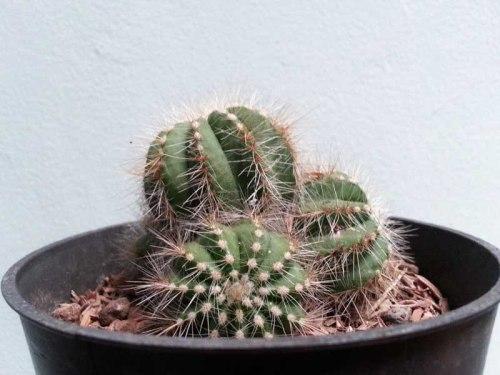 cactus kaktus indoor