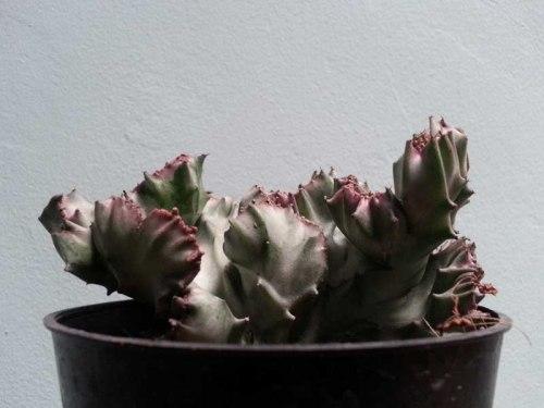 sukulen succulent kaktus cactus http://isro.com