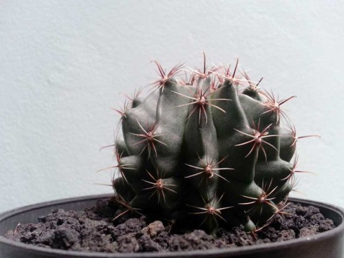 Kaktus (http://isroi.com)