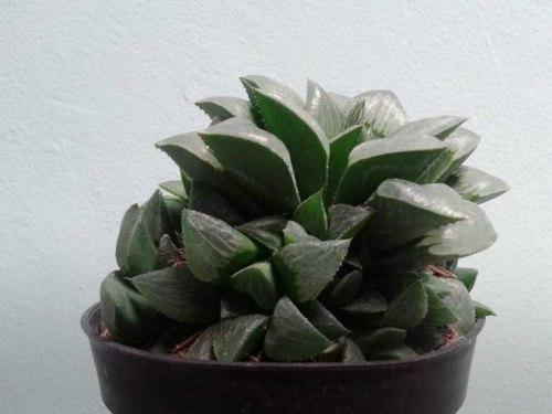 sukulen succulent
