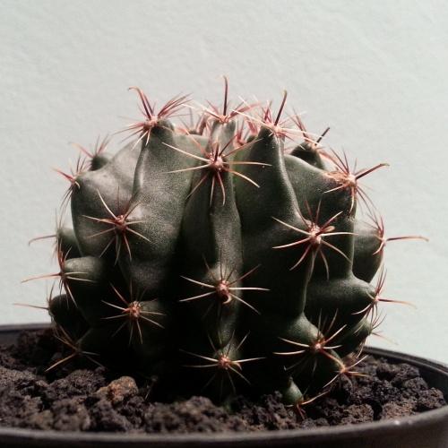 kaktus cactus succulent