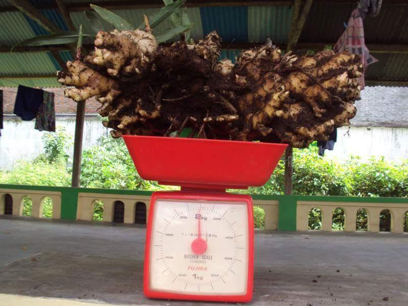 Panen Jahe emprit 2 kg polybag
