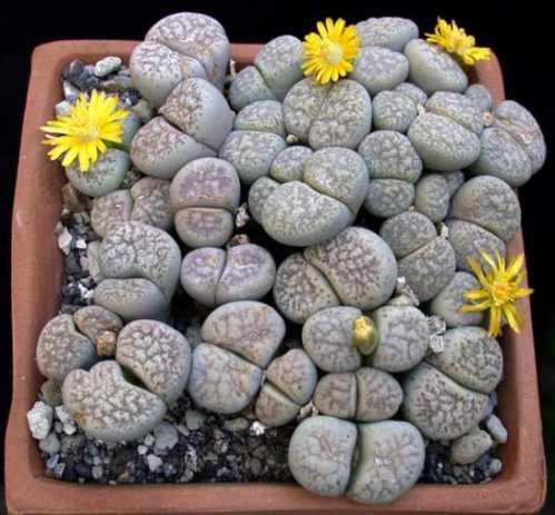 Tanaman sekulen 'Batu Hidup' yang cantik dan unik.