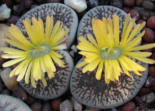 benih lithops living stone batu hidup