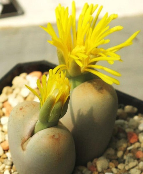 Lithops Steineckeana rare plant exotic living stone ice succulent seed 100 SEEDS. $24