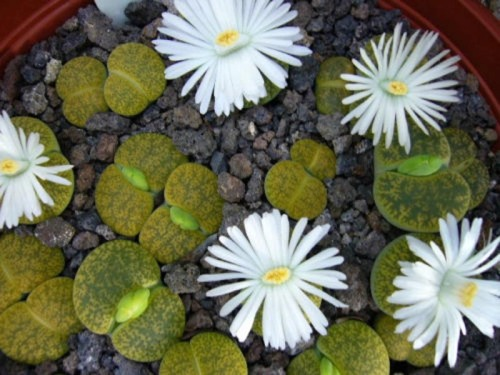 Lithops lesliei v albinica, living stone rock stone cactus cacti seed 100 SEEDS. $24