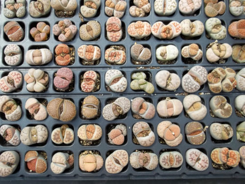 mix living stone seed lithops